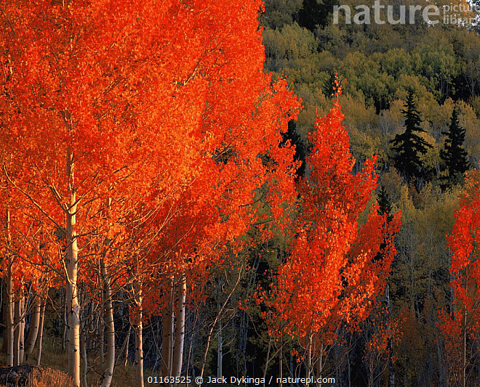 Quaking aspen trees {Populus tremuloides} in autumn colours with Engelmann spruce trees {Picea engelmannii} Dixie National Forest, Utah, USA  ,  ARCHES,CACTI,CENTRAL AMERICA,DESERTS,LANDSCAPES,MEXICO,MIXED SPECIES,PLANTS,RESERVE  ,  Jack Dykinga