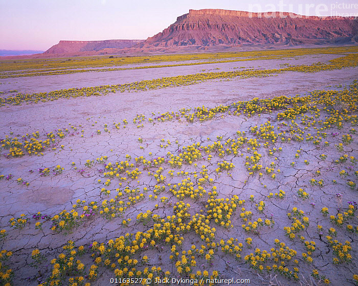 Yellow beeplant {Cleome lutea} and Pretty phacelia {Phacelia sabulonum} flowering in aluvial runoff, River valley, Factory Bench, Fremont, Utah, USA  ,  FLOWERS,LANDSCAPES,NORTH AMERICA,PLANTS,USA  ,  Jack Dykinga