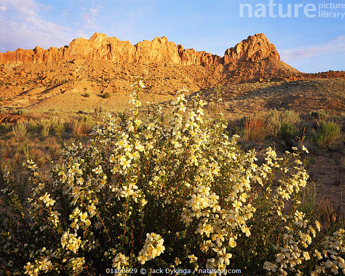 Flowering cliff rose {Cowania mexicana} with cliffs of Little Brown Bench in background, Little Death Hollow, Grand Staircase - Escalante National Monument, Utah, USA  ,  CLIFFS,DESERTS,FLOWERS,LANDSCAPES,NORTH AMERICA,PLANTS,RESERVE,USA,Geology  ,  Jack Dykinga