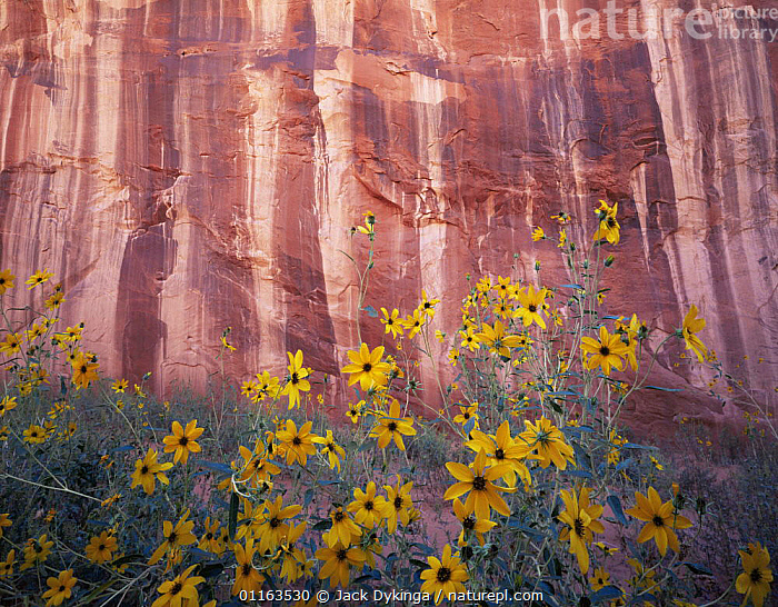 Sand sunflowers {Helianthus anomolus} flowering against canyon wall, Grand Staircase - Escalante National Monument, Utah, USA  ,  CLIFFS,DESERTS,FLOWERS,LANDSCAPES,NORTH AMERICA,PLANTS,RESERVE,USA,Geology  ,  Jack Dykinga