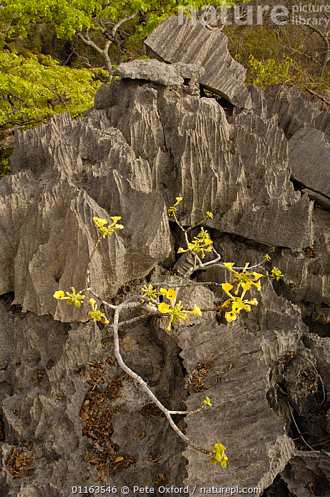 flowering plant (Incarina sp?) growing on Tsingy Ankarana Special Reserve. Northern MADAGASCAR  ,  ENDEMIC,FLOWERS,MADAGASCAR,PLANTS,rock formations,VERTICAL,YELLOW,Geology  ,  Pete Oxford