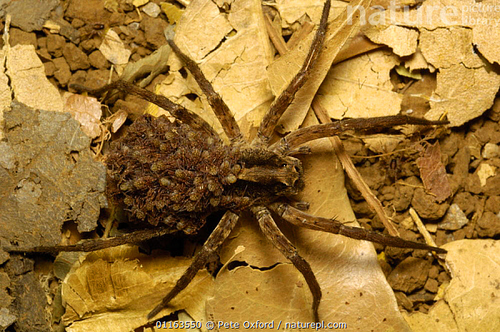 Wolf spider, female carrying baby spiders on its back {Lycosidae} Ankarana Special Reserve. NW MADAGASCAR.  ,  ARACHNIDS,ARTHROPODS,BABIES,INVERTEBRATES,MADAGASCAR,parental behaviour,SPIDERS,WOLF SPIDERS  ,  Pete Oxford