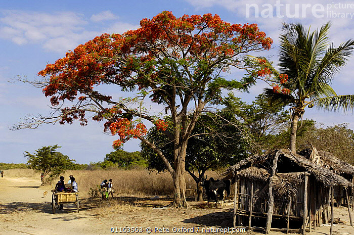Sakalava people travelling to or from weekly village market. Nr Ankarana Special Reserve in NW MADAGASCAR. 2005  ,  FLOWERS,LANDSCAPES,MADAGASCAR,PEOPLE,TREES,Plants  ,  Pete Oxford