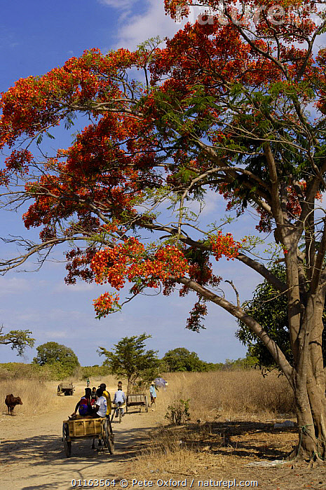 Sakalava people travelling to or from weekly village market. Nr Ankarana Special Reserve in NW MADAGASCAR. 2005  ,  carts,FLOWERS,MADAGASCAR,PEOPLE,ROADS,Transport,TREES,VERTICAL,villages,Plants  ,  Pete Oxford