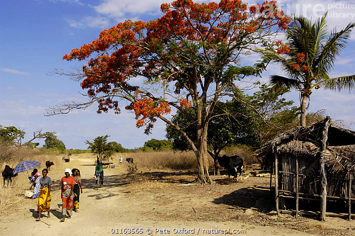 Sakalava people coming to weekly village market. Nr Ankarana Special Reserve in NW MADAGASCAR.. 2005  ,  FLOWERS,LANDSCAPES,MADAGASCAR,PEOPLE,TRADE,TRADITIONAL,TREES,villages,Plants  ,  Pete Oxford