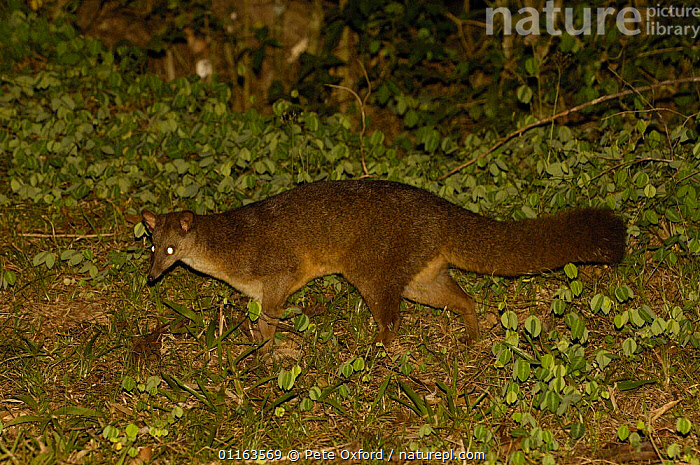 Falanouc or Malagasy small-toothed civet (Eupleres goudotii) searching for earthworms, Montagne d'Ambre National Park, N MADAGASCAR. Endangered  ,  CARNIVORES,CIVETS,Falanouc,MADAGASCAR,MAMMALS,NIGHT,NOCTURNAL,RESERVE,VERTEBRATES,Genets  ,  Pete Oxford