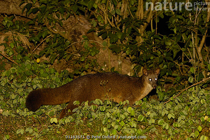 Falanouc or Malagasy small-toothed civet (Eupleres goudotii) searching for earthworms, Montagne d'Ambre National Park, N MADAGASCAR. Endangered  ,  CARNIVORES,CIVETS,Falanouc,MADAGASCAR,MAMMALS,NIGHT,NOCTURNAL,VERTEBRATES,Genets  ,  Pete Oxford