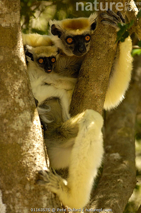 Golden-crowned / Tattersall's sifaka (Propithecus tattersalli) female with young, Daraina, NE MADAGASCAR  ,  BABIES,BABY,ENDANGERED,ENDEMIC,LEMURS,MADAGASCAR,MAMMALS,MOTHER,PRIMATES,VERTEBRATES,VERTICAL,young  ,  Pete Oxford