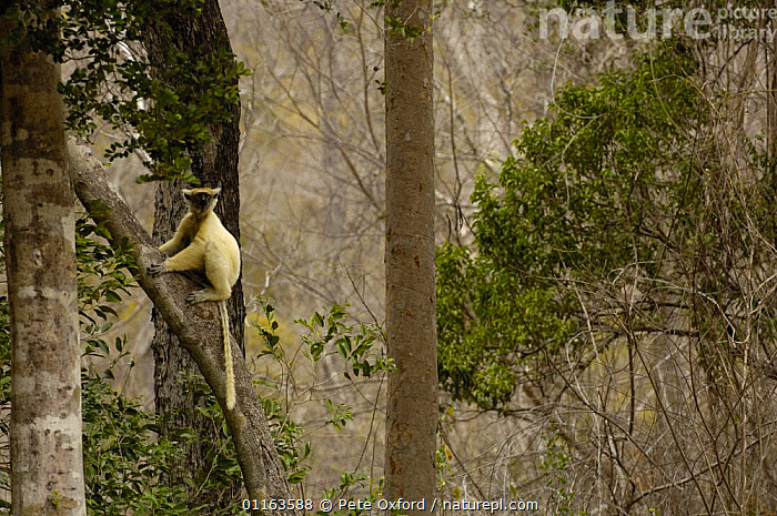 Golden-crowned / Tattersall's sifaka (Propithecus tattersalli) in dry decidious forest, Daraina, NE MADAGASCAR  ,  ENDANGERED,ENDEMIC,HABITAT,LANDSCAPES,LEMURS,MADAGASCAR,MAMMALS,PRIMATES,TREES,VERTEBRATES,WOODLANDS,Plants  ,  Pete Oxford