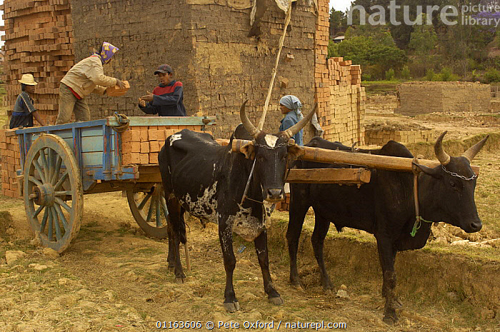Loading bricks onto cart pulled by Zebu cattle, MADAGASCAR 2005  ,  MADAGASCAR,PEOPLE,traction,TRADITIONAL,WORKING  ,  Pete Oxford