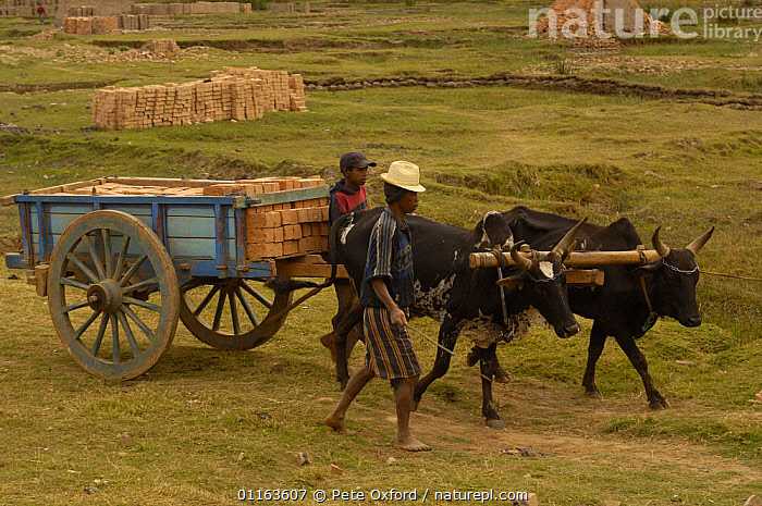 Transporting bricks by cart pulled by Zebu cattle, MADAGASCAR 2005  ,  MADAGASCAR,PEOPLE,TRADITIONAL,WORKING  ,  Pete Oxford