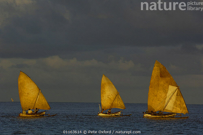 Piroques or outrigger canoes going out to sea from the Bombetoka delta for the day to fish. Mahajunga. Western MADAGASCAR  ,  BOATS,Fishing,MADAGASCAR,TRADITIONAL  ,  Pete Oxford
