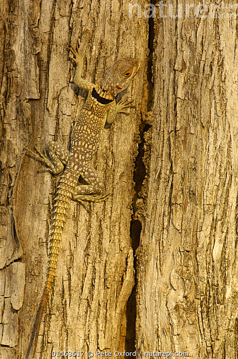 Madagascar spiny tailed lizard (Oplurus cuvieri)  Ankarafantsika Strict Nature Reserve, Western dry-deciduous forest. MADAGASCAR, endemic  ,  CAMOUFLAGE,LIZARDS,MADAGASCAR,REPTILES,VERTEBRATES,VERTICAL  ,  Pete Oxford