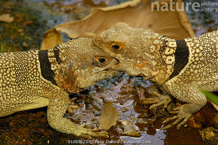 Madagascar spiny tailed lizard (Oplurus cuvieri) males fighting for territory, Ankarafantsika Strict Nature Reserve, Western dry-deciduous forest. MADAGASCAR, endemic  ,  AGGRESSION,BEHAVIOUR,FIGHTING,LIZARDS,MADAGASCAR,MALES,REPTILES,two,VERTEBRATES,Concepts  ,  Pete Oxford