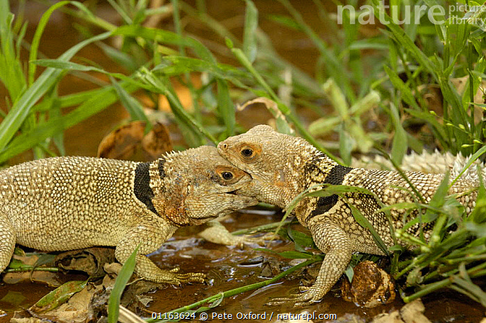 Madagascar spiny tailed lizard (Oplurus cuvieri) males fighting for territory, Ankarafantsika Strict Nature Reserve, Western dry-deciduous forest. MADAGASCAR, endemic  ,  AGGRESSION,BEHAVIOUR,FIGHTING,LIZARDS,MADAGASCAR,MALES,REPTILES,TERRITORIAL,two,VERTEBRATES,Concepts  ,  Pete Oxford
