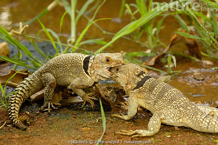 Iguanid lizards (Oplurus cuvieri) Two males fighting for territory. Ankarafantsika Strict Nature Reserve, Western dry-deciduous forest. MADAGASCAR . These are medium sized iguanas. This sub-group of the oplurus is mainly arboreal and can be recognized by the large spiny scales on their tails. They can reach a length of 373mm. During the breeding season the males fight for their territories and do a lot of head bobbing to show dominance. DISTRIBUTION: Northern part of the west coast of Madagascar. They prefer the dry forests. ENDEMIC TO MADAGASCAR  ,  FIGHTING,LIZARDS,MADAGASCAR,MALES,REPTILES,VERTEBRATES,Aggression,Concepts  ,  Pete Oxford