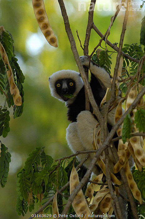 Coquerel's sifaka (Propithecus coquereli) feeding on young leaves of (Albizia sp) Ankarafantsika Strict Nature Reserve, Western deciduous forest. MADAGASCAR, endemic  ,  MADAGASCAR,MAMMALS,PORTRAITS,PRIMATES,SIFAKAS,VERTEBRATES,VERTICAL,Lemurs  ,  Pete Oxford