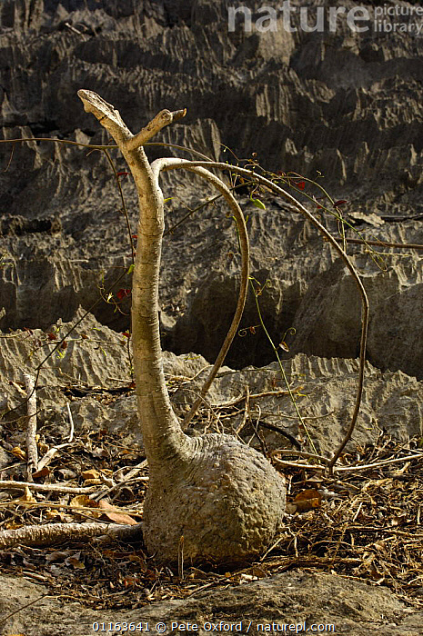 Tsingy limestone pinacles with Bottle tree (Adenia perrieri) in foresground, Ankarana Special Reserve. Northern MADAGASCAR  ,  ENDEMIC,INTERESTING,MADAGASCAR,PLANTS,VERTICAL  ,  Pete Oxford