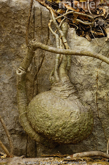 Tsingy limestone pinacles with Bottle tree (Adenia perrieri) in foresground, Ankarana Special Reserve. Northern MADAGASCAR  ,  INTERESTING,MADAGASCAR,PLANTS,TREES,VERTICAL  ,  Pete Oxford
