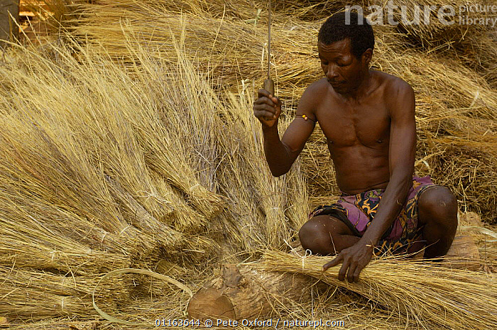 Sakalva man preparing thatch grass, wearing an amulet or 'ody fitahantena' to protect him from bad spirits. Ankarafantsika Nature Reserve, MADAGASCAR 2005  ,  GRASSES,HARVESTING,MADAGASCAR,PEOPLE,TRADITIONAL  ,  Pete Oxford