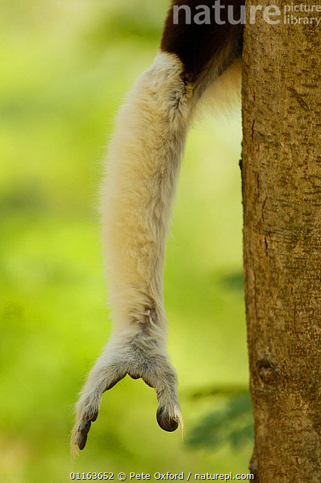 Close up of arm and hand of Coquerel's sifaka (Propithecus coquereli) Ankarafantsika Strict Nature Reserve, Western deciduous forest. MADAGASCAR, endemic  ,  arms,close ups,DIGITS,fingers,HANDS,LIMBS,MAMMALS,PRIMATES,SIFAKAS,VERTEBRATES,VERTICAL,Lemurs  ,  Pete Oxford