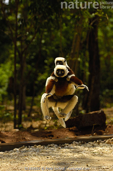Coquerel's sifaka (Propithecus coquereli) female jumping across a clearing with baby in on her back,  Ankarafantsika Strict Nature Reserve, Western deciduous forest. MADAGASCAR, endemic  ,  BEHAVIOUR,CARRYING,FAMILIES,LEAPING,MAMMALS,mother baby,PRIMATES,SIFAKAS,VERTEBRATES,VERTICAL,WOODLANDS,Lemurs  ,  Pete Oxford