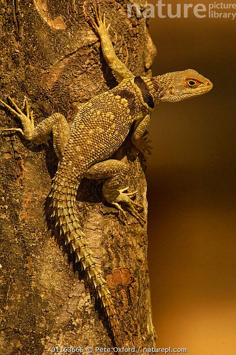 Madagascar spiny tailed lizard (Oplurus cuvieri)Ankarafantsika Strict Nature Reserve, Western dry-deciduous forest. MADAGASCAR, endemic  ,  IGUANAS,LIZARDS,MADAGASCAR,REPTILES,VERTEBRATES,VERTICAL  ,  Pete Oxford
