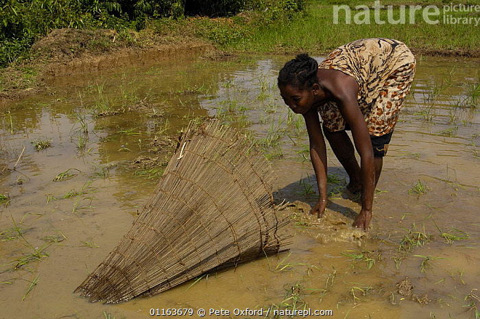 Woman fishing with fishtrap in the rice paddies, herding small fish into the fish basket, Ankarafantsika Nature Reserve, MADAGASCAR 2005  ,  CROPS,FISH,Fishing,MADAGASCAR,paddy field,PEOPLE,TRADITIONAL  ,  Pete Oxford