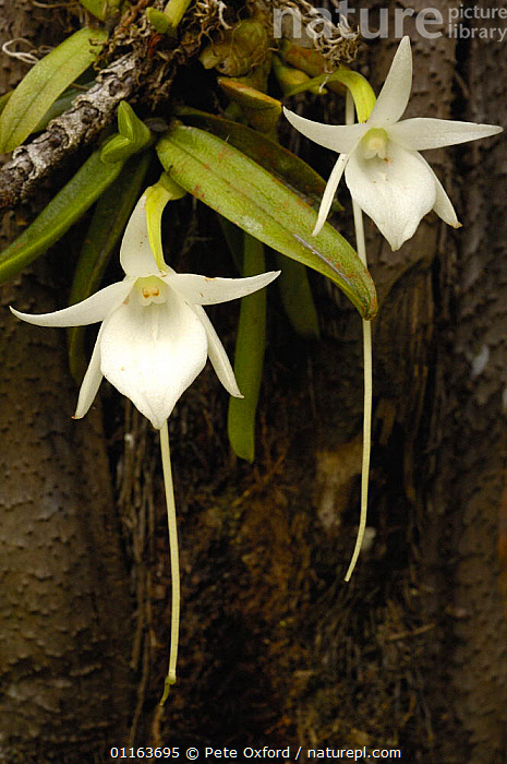 Comet orchid (Angraecum sesquipedale) Analamazoatra Special Reserve or Perinet. MADAGASCAR, pollinated by a moth with a proboscis of 12 inches {Xanthopan morgani praedicta} endemic  ,  MONOCOTYLEDONS,ORCHIDACEAE,orchids,PLANTS,two,VERTICAL  ,  Pete Oxford