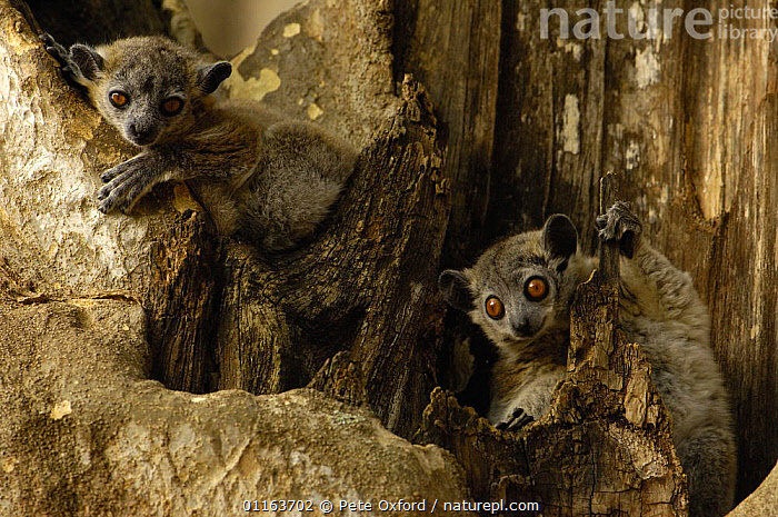 White-footed sportive lemur (Lepilemur leucopus) Berenty Reserve. Southern MADAGASCAR, endemic,  Xerophytic spiny forest and gallery forest in southern and south-west Madagascar.  ,  LEMURS,MADAGASCAR,MAMMALS,PRIMATES,two,VERTEBRATES  ,  Pete Oxford