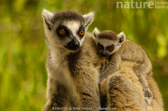 Ring-tailed lemur (Lemur catta) female carrying young, Spiny forest, Berenty Reserve. Southern MADAGASCAR, endemic  ,  BABIES,BABY,CUTE,FAMILIES,LEMURS,MADAGASCAR,MAMMALS,MOTHER,PRIMATES,VERTEBRATES  ,  Pete Oxford