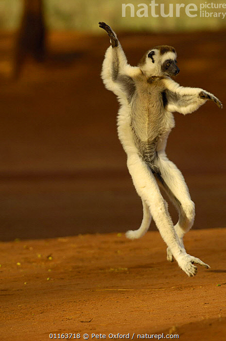 Verreaux's sifaka (Propithecus verreauxi) 'dancing' across clearing in woodland. Spiny forest, Berenty Reserve, Southern MADAGASCAR, endemic  ,  ACTION,BEHAVIOUR,JUMPING,MADAGASCAR,MAMMALS,MOVEMENT,PRIMATES,SIFAKAS,VERTEBRATES,VERTICAL,Lemurs  ,  Pete Oxford