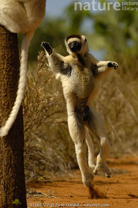 Verreaux's sifaka (Propithecus verreauxi) 'dancing' across clearing in woodland. Spiny forest, Berenty Reserve, Southern MADAGASCAR, endemic  ,  BEHAVIOUR,dancing,JUMPING,MADAGASCAR,MAMMALS,MOVEMENT,PRIMATES,SIFAKAS,VERTEBRATES,VERTICAL,Lemurs  ,  Pete Oxford
