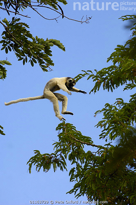 Verreaux's sifaka (Propithecus verreauxi) jumping across from one tree to another. Berenty Reserve, Southern MADAGASCAR, endemic  ,  BEHAVIOUR,dancing,JUMPING,LEAPING,MADAGASCAR,MAMMALS,PRIMATES,SIFAKAS,VERTEBRATES,VERTICAL,Lemurs  ,  Pete Oxford