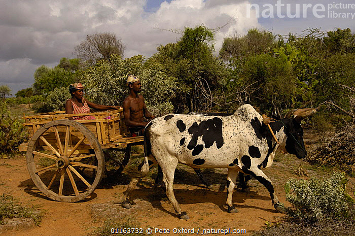 Traditional Zebu (ox) cart. Antandroy couple - wearing the local hats typical of the region. Spiny forest area of southern MADAGASCAR   2005  ,  CATTLE,cow,LANDSCAPES,MADAGASCAR,PEOPLE,TRADITIONAL,Transport,VEHICLES  ,  Pete Oxford