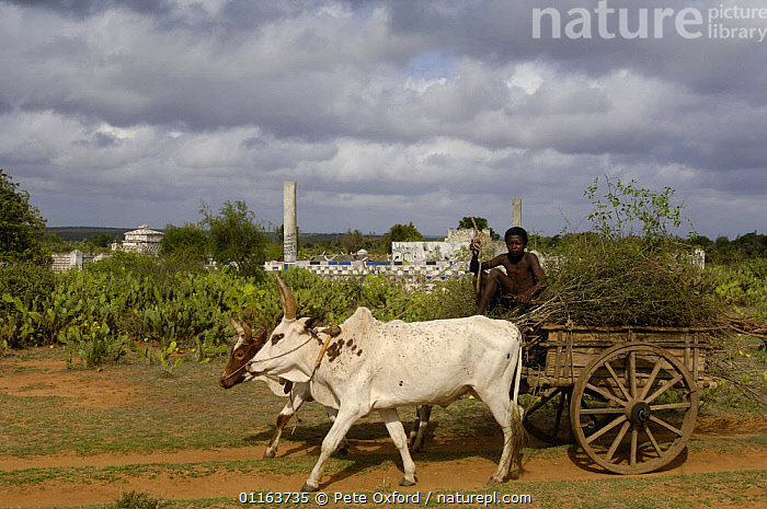 Zebu (ox) cart passes Antandroy Tombs. Spiny forest area of southern MADAGASCAR 2005  ,  BUILDINGS,CATTLE,cow,graves,LANDSCAPES,MADAGASCAR,PEOPLE,TRADITIONAL,Transport,VEHICLES  ,  Pete Oxford