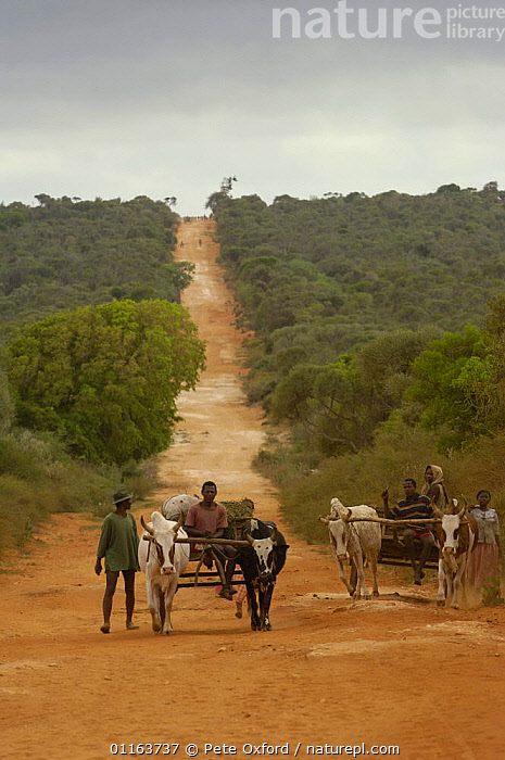 Antandroy people and Zebu (ox) carts. Spiny forest area of southern MADAGASCAR   2005  ,  CATTLE,LANDSCAPES,MADAGASCAR,PEOPLE,ROADS,Transport,TRIBES,VERTICAL  ,  Pete Oxford