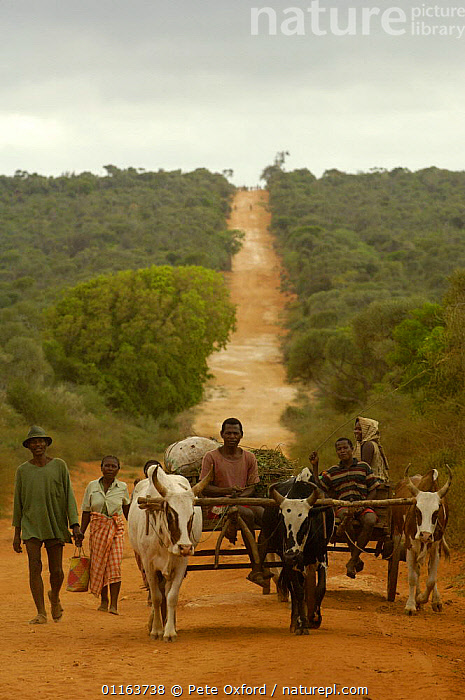 Antandroy people and Zebu (ox) carts. Spiny forest area of southern MADAGASCAR   2005  ,  CATTLE,MADAGASCAR,PEOPLE,ROADS,TRADITIONAL,Transport,TRIBES,VERTICAL  ,  Pete Oxford
