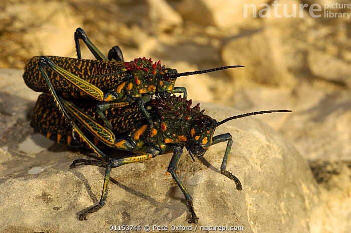 Giant painted locusts mating (Phymateus saxosus) Cap Sainte Marie Special Reserve on the southern most tip of MADAGASCAR.  ,  BEHAVIOUR,GRASSHOPPERS,INSECTS,INVERTEBRATES,MADAGASCAR,male female pair,mating,ORTHOPTERA  ,  Pete Oxford