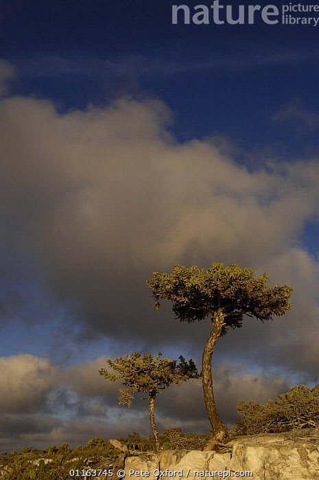 {Euphorbia stenoclada} on the edge of the sandstone cliffs of Cap Sainte Marie Special Reserve on the southern most tip of MADAGASCAR.  ,  CLOUDS,LANDSCAPES,MADAGASCAR,TREES,VERTICAL,Weather,Plants  ,  Pete Oxford
