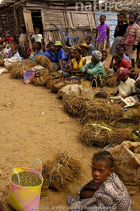 Antandroy people at street market selling plants used in medicinal trade, Faux Cap Market, Southern MADAGASCAR.   2005  ,  CHILDREN,MADAGASCAR,medicine,PEOPLE,TRADE,TRADITIONAL,VERTICAL,villages  ,  Pete Oxford