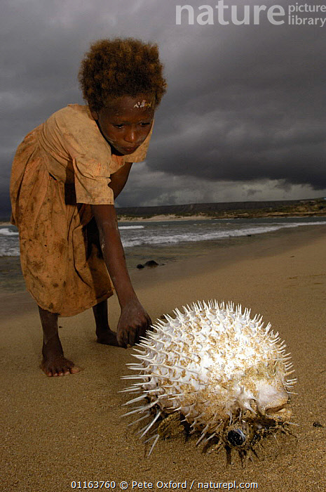 Antandroy child inspecting pufferfish that was brought in by fishermen. Lavanono fishing village, south coast of MADAGASCAR 2005  ,  CHILDREN,COASTS,DEFENSIVE,FISH,PEOPLE,SPINES,TRIBES,VERTICAL,Behaviour,MADAGASCAR  ,  Pete Oxford