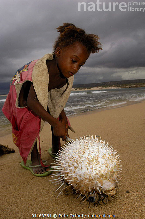 Antandroy child inspecting pufferfish that was brought in by fishermen. Lavanono fishing village, south coast of MADAGASCAR  ,  BEACHES,CHILDREN,COASTS,DEFENSIVE,FISH,MADAGASCAR,SPINES,TRIBES,VERTICAL,Behaviour  ,  Pete Oxford