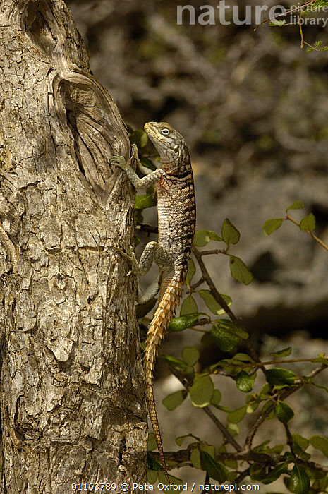 Iguanid lizard (Oplurus cyclurus) Tsimanampetsotsa Special Reserve. South-west desert of MADAGASCAR, endemic  ,  LIZARDS,MADAGASCAR,REPTILES,VERTEBRATES,VERTICAL  ,  Pete Oxford
