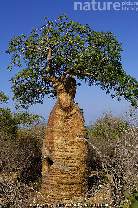 Baobab (Adansonia rubrostipa) Itampolo near Tsimanampetsotsa Special Reserve. South-west desert area of MADAGASCAR, endemic  ,  DICOTYLEDONS,LANDSCAPES,MALVACEAE,PLANTS,TREES,TRUNKS,VERTICAL  ,  Pete Oxford