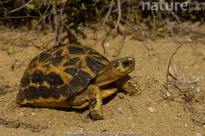 Spider / Flat tailed tortoise (Pyxis arachnoides arachnoides) in 'spiny' forest between Itampolo village and entrance to Tsimanampetsotsa Reserve in south-west MADAGASCAR, endemic  ,  CHELONIA,MADAGASCAR,REPTILES,TORTOISES,VERTEBRATES, Tortoises  ,  Pete Oxford