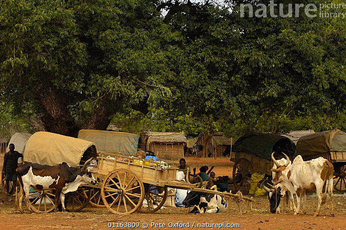 Mahafaly local market specializing in yams, south-western MADAGASCAR.  2005  ,  carts,CATTLE,LANDSCAPES,LIVESTOCK,MADAGASCAR,PEOPLE,TRADITIONAL,TRIBES,Zebu  ,  Pete Oxford