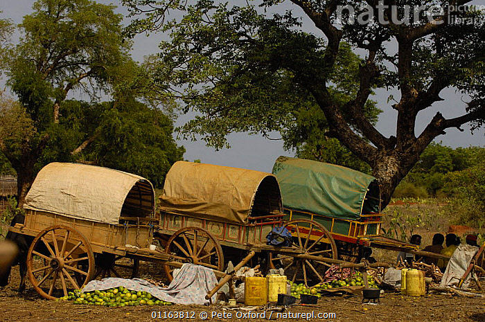 Mahafaly local market specializing in yams, south-western MADAGASCAR.  2005  ,  carts,LANDSCAPES,MADAGASCAR,PEOPLE,TRADE,TRADITIONAL,TRIBES,VEGETABLES  ,  Pete Oxford