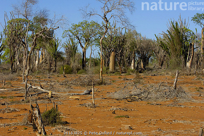 Arid spiny forest habitat distruction due to slash and burn for agriculture and charcoal. Mangily near Ifaty. South-western MADAGASCAR  ,  DEFORESTATION,LANDSCAPES,MADAGASCAR  ,  Pete Oxford