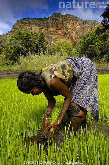 Woman working in rice paddy in National Park. Sandstone Massif seen in the background. Isalo National Park, MADAGASCAR   2005  ,  AGRICULTURE,CROPS,MADAGASCAR,PEOPLE,RESERVE,VERTICAL,WORKING  ,  Pete Oxford